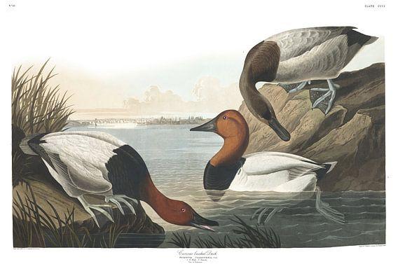 Grote Tafeleend van Birds of America