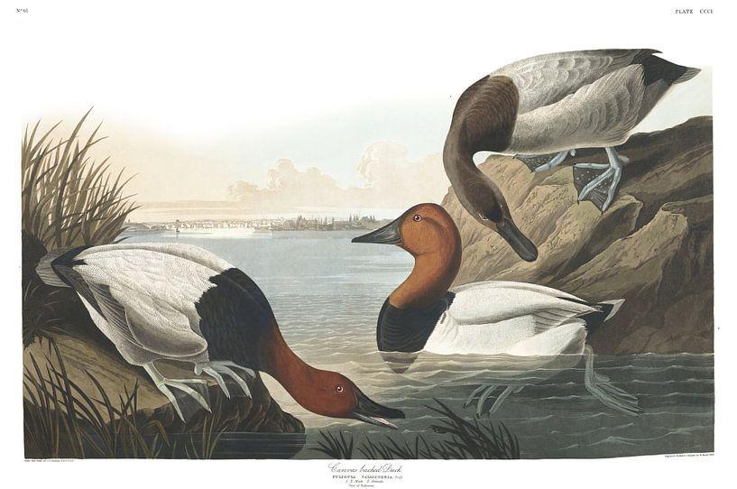 Riesentafelente von Birds of America