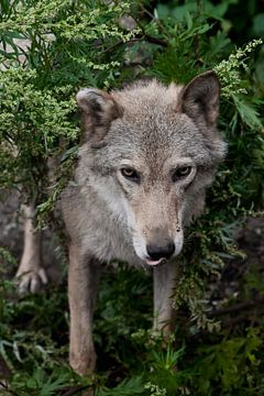 Der Kopf (die Schnauze) schaut aus nächster Nähe heraus. Eine Wölfin vor dem Hintergrund von Sommerg von Michael Semenov