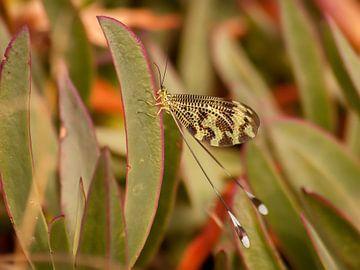 Nemoptera bipennis sur Eline Snijder
