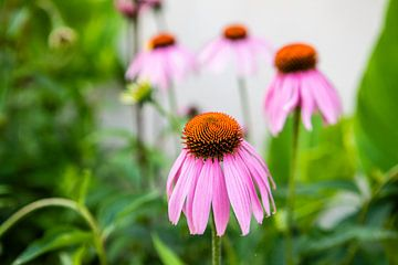 rosa Blume von Eric van Nieuwland