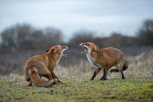 Rotfuchs ( Vulpes vulpes ), zwei Füchse im Streit, drohen einander mit aufgerissenem Fang, wildlife,