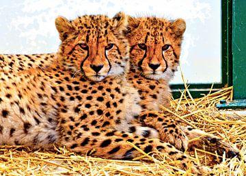 Young cheetahs van Leopold Brix