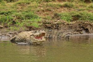 Kaaiman in Cano Negro Costa Rica