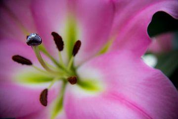 Pink Lilly. van Luke Price