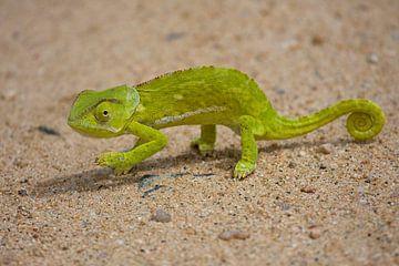 Kameleon van Patries Photo