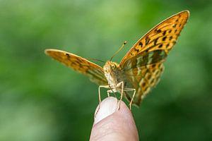 Een Kaismantel vlinder zit op mijn wijsvinger....