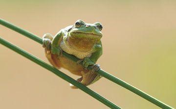 Boomkikker op pitrusgras in het groen van Jeroen Stel