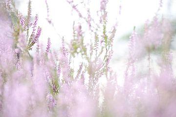 Heide, zacht roze kleur, Heideveld,  van Wilma Meurs
