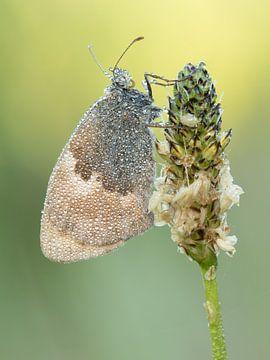 Vlinder bedekt met dauwdruppels van