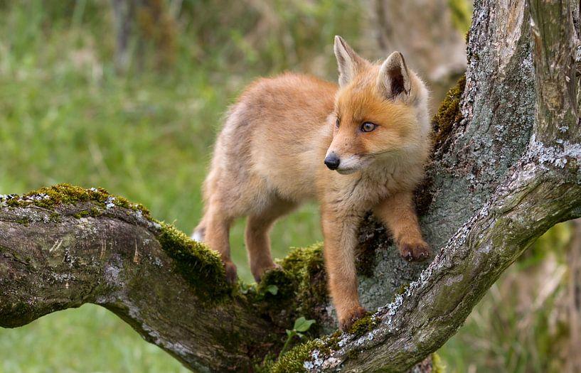 Jonge kleine vos van Menno Schaefer