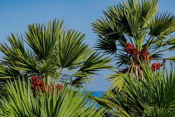 Dwergpalmen aan de Golf van Castellammare, Scopello, Sicilië, Italië van Mieneke Andeweg-van Rijn
