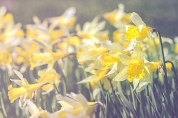 daffodil storm sur Alessia Peviani