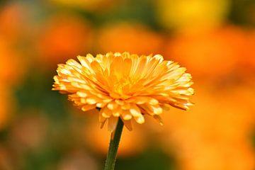 In het zonnetje gezette goudsbloem, beautifull goldflower van J..M de Jong-Jansen