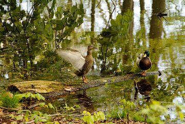 Zwei Enten auf einem Baumstamm im Wald. von Jurjen Jan Snikkenburg