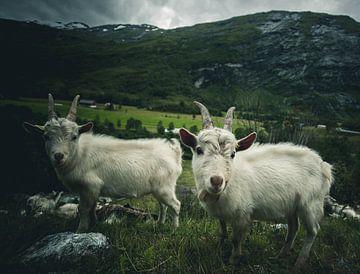 Norwegian goats van