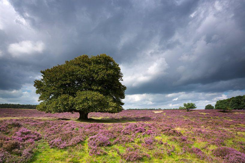 Eenzame boom op de bloeiende heide. van Rob Christiaans