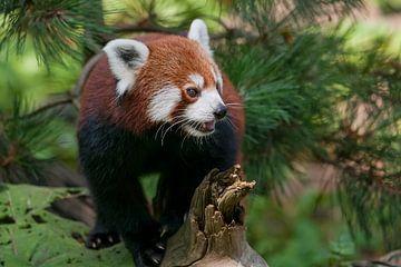 Kleine Panda : Ouwehands Dierenpark van Loek Lobel