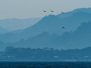 Pelikane in Kalifornien von Rutger van Loo
