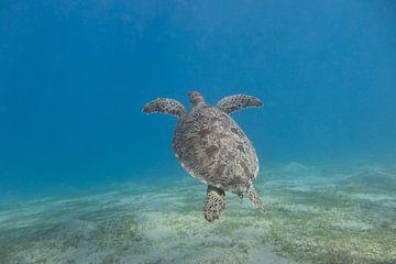Schwimmende Meeresschildkröte, Ägypten von Daniëlle van der meule