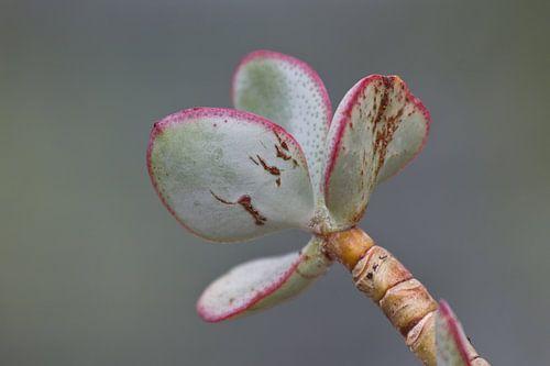 Vetplant groen met roze van