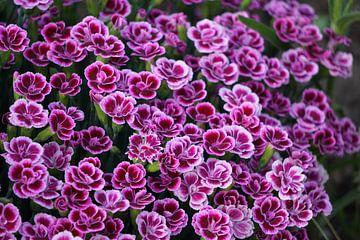 Des fleurs sur Ineke Klaassen