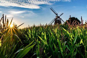 Im Maisfeld von Jens Sessler