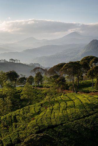 Zonsopkomst over een thee plantage