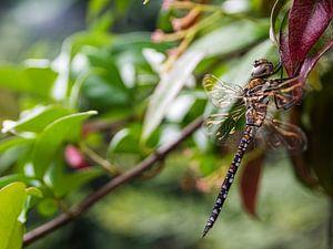 Libelle van Martijn Wit