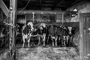 Koeien in oude koeienstal