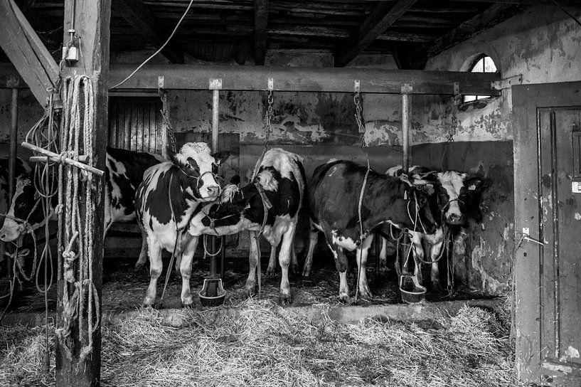 Kühe im alten Kuhstall von Inge Jansen