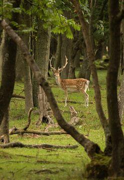 Hirsche in den Dünen der Amsterdamer Wasserversorgung von Kyra Hoekema