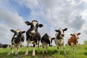 Koeien in de wei in het voorjaar