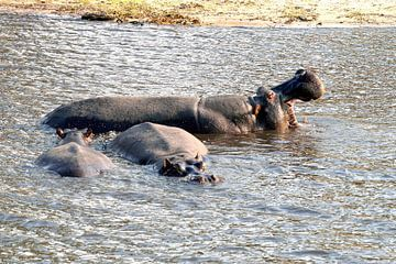 Nijlpaard in de Chobe rivier in het national park Chobe in Botswana van Merijn Loch