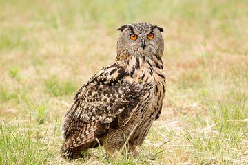 Uil, Europese Oehoe in het veld. van Marco van der Zwaag