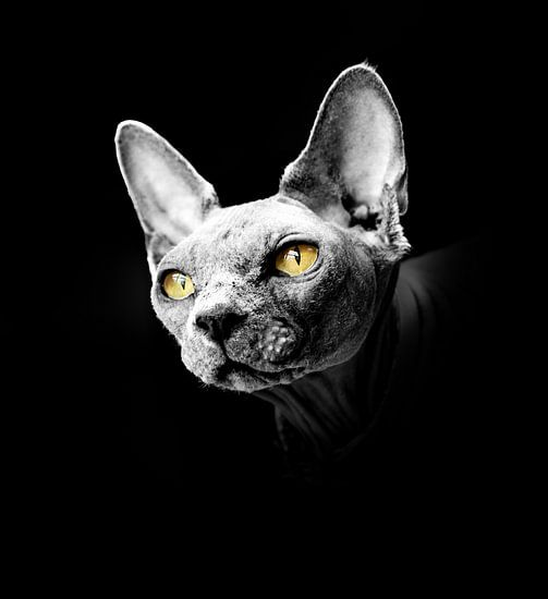 Portret van een sphynx met gele ogen