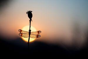 Bandheidelibel en de opkomende zon