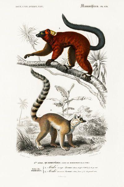 Lemur von Heinz Bucher