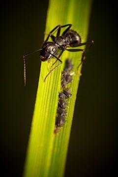 Ant tending aphids on grass blade van Luis Fernando Valdés Villarreal Boullosa