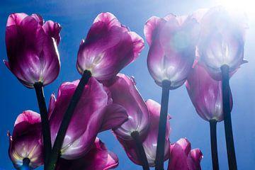 tulpen in de zonneschijn von de buurtfotograaf Leontien