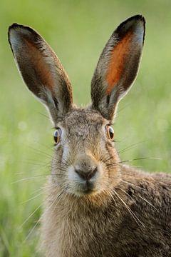 European Hare * Lepus europaeus * looks funny van wunderbare Erde