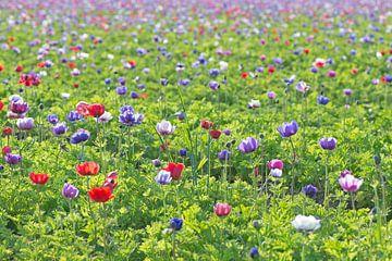 Veld vol anemonen van Barbara Brolsma