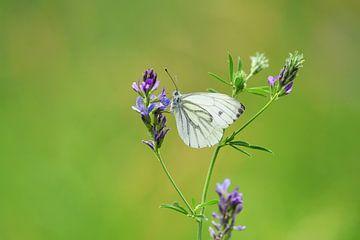 Green Veined White Butterfly van Ioana Hraball