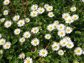 Eine Gruppe von Gänseblümchen. von Wim vd Neut
