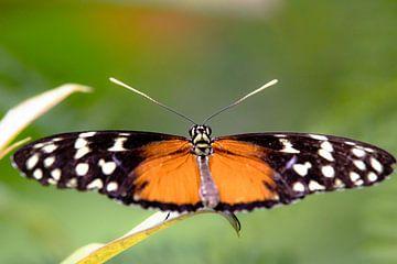 Vlinder van Anne Dellaert