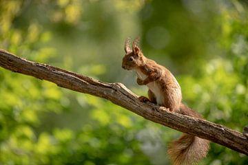 Eekhoorn op tak van Tanja van Beuningen