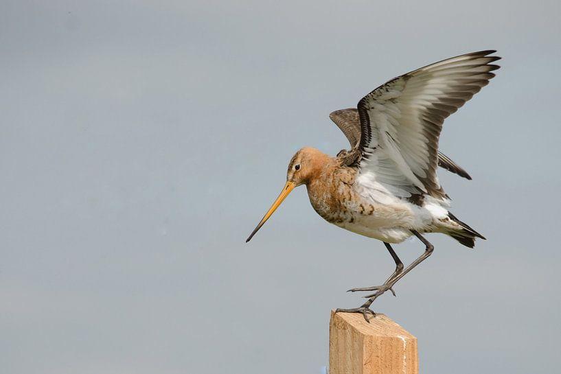 Uferschnepfe auf Stelzen streckt ihre Flügel aus von Petra Vastenburg
