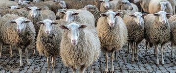 Schafe in einer Reihe von Hans Brasz
