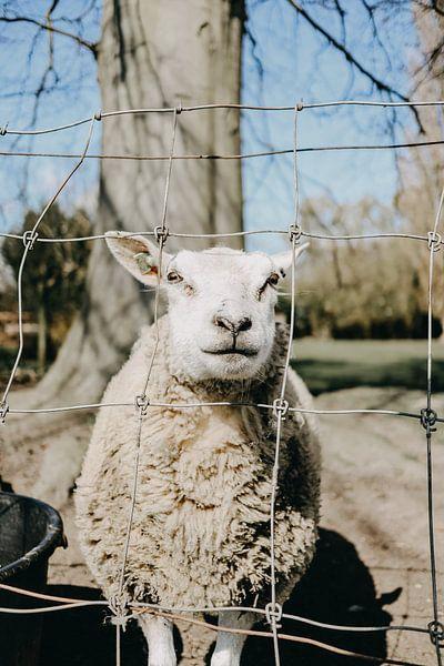 Schaf von Werner Lantinga