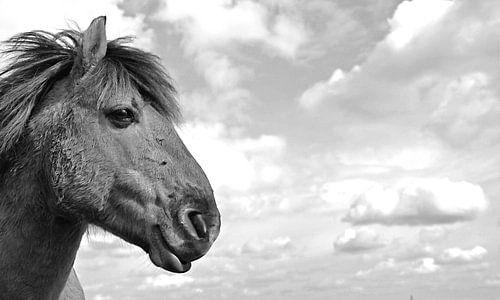 Wild paard in Nationaal park de Utrechtse Heuvelrug. sur